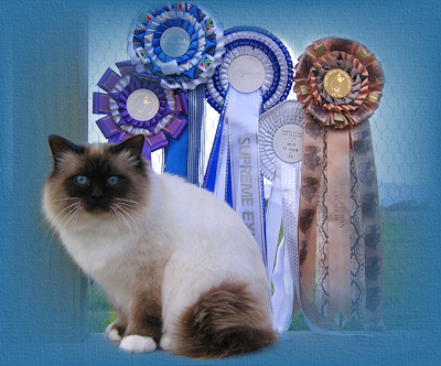 Australian and New Zealand Gold Double Grand Champion Sharada Puss in Boots